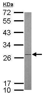 Western blot - Anti-ATP5F1 antibody (ab154564)