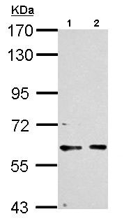 Western blot - Anti-PCTAIRE1 antibody (ab154567)