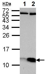 Western blot - Anti-ATP5J antibody (ab154578)