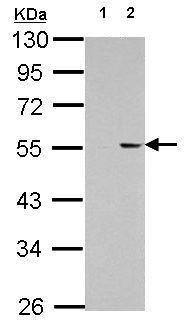 Western blot - Anti-PKNOX1.1 antibody (ab154587)