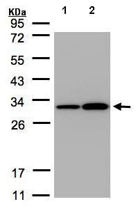Western blot - Anti-Prohibitin antibody (ab154589)
