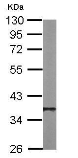 Western blot - Anti-Protein Phosphatase 1 beta antibody (ab154600)