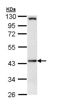 Western blot - Anti-HIPPI antibody (ab154601)