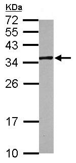 Western blot - Anti-MIOX antibody (ab154639)