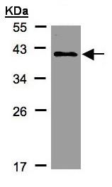 Western blot - Anti-KLHDC8A antibody - C-terminal (ab154686)