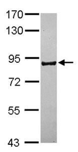 Western blot - Anti-PCDHB16 antibody (ab154696)