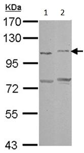 Western blot - Anti-PCDHAC2 antibody (ab154720)