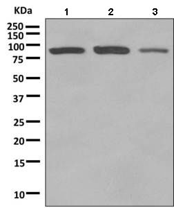 Western blot - Anti-Rho guanine exchange factor 16 antibody [EPR9950] (ab154785)