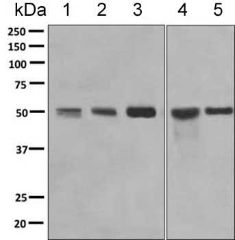 Western blot - Anti-SRP54 antibody [EPR10851(B)] (ab154796)