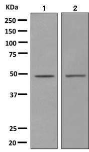 Western blot - Anti-5HT1E Receptor antibody [EPR10789(B)] (ab154813)