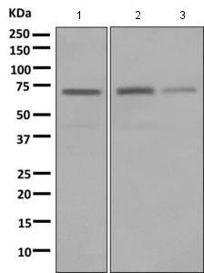 - Anti-LNK antibody [EPR7342] (ab154848)