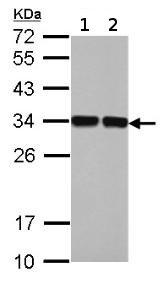 Western blot - Anti-MASA antibody (ab154890)