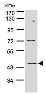 Western blot - Anti-AL2S7 antibody (ab155057)