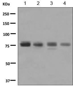 Western blot - Anti-ZNF175 antibody (ab155075)