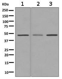 Western blot - Anti-Dopamine Receptor D3 antibody [EPR10148] (ab155098)