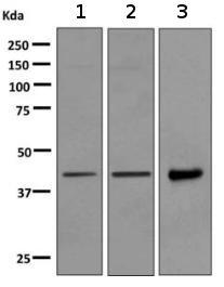 Western blot - Anti-WIF1 antibody [EPR9385] (ab155101)