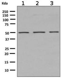 Western blot - Anti-Angiopoietin 2 antibody [EPR2891(2)] (ab155106)