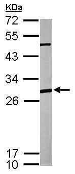 Western blot - Anti-PHAP1 antibody (ab155148)