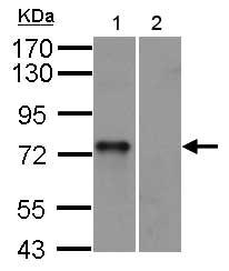 Western blot - Anti-Syk antibody (ab155187)