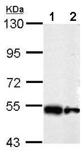 Western blot - Anti-SHMT2 antibody (ab155230)