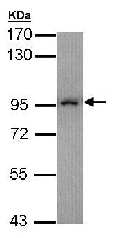 Western blot - Anti-MAD1 antibody (ab155236)