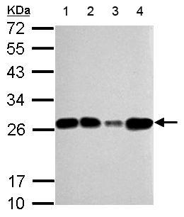 Western blot - Anti-mtTFA antibody (ab155240)