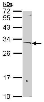 Western blot - Anti-Surf1 antibody (ab155251)