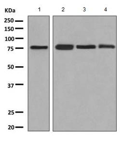 Western blot - Anti-FACL4 antibody (ab155282)
