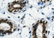 Immunohistochemistry (Formalin/PFA-fixed paraffin-embedded sections) - Anti-PIN4 antibody (ab155283)