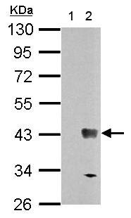 Western blot - Anti-Wnt7b antibody (ab155313)