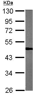 Western blot - Anti-TUFM antibody (ab155328)