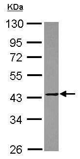 Western blot - Anti-MMP23 antibody (ab155416)