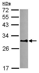 Western blot - Anti-DNALI1 antibody (ab155490)