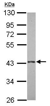 Western blot - E3 ubiquitin-protein ligase MUL1 antibody (ab155511)