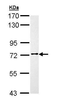 Western blot - Anti-FAKD3 antibody (ab155520)