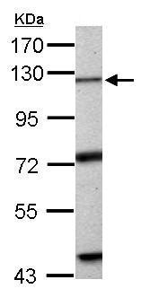 Western blot - Anti-Exonuclease 1 antibody (ab155553)