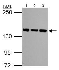 Western blot - Anti-SMC3 antibody - C-terminal (ab155587)
