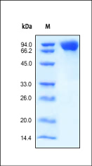 SDS-PAGE - MCSF Receptor protein (Active) (ab155619)