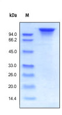 SDS-PAGE - ErbB 3 protein (Active) (ab155631)