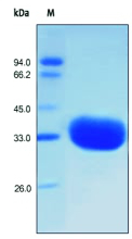 SDS-PAGE - IgG1 protein (Fc fragment) (ab155632)