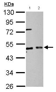 Western blot - Anti-EIF2S2 antibody (ab155649)