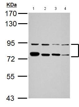 Western blot - Anti-FUBP1 antibody (ab155661)