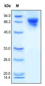 SDS-PAGE - Transferrin protein (His tag) (ab155698)