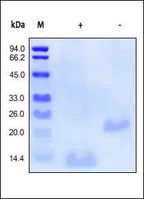 SDS-PAGE - BMP2 protein (Active) (ab155700)