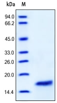 SDS-PAGE - IL2 protein (Active) (ab155738)