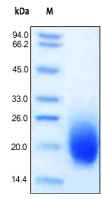 SDS-PAGE - GM-CSF protein (Active) (ab155743)
