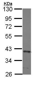Western blot - Anti-SEC13L1 antibody (ab155771)