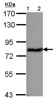 Western blot - Anti-ERp72 antibody (ab155800)
