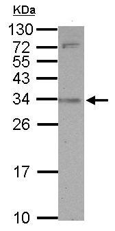 Western blot - SLAMF9 antibody (ab155909)