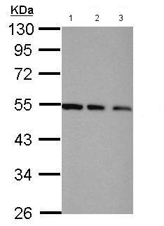 Western blot - Anti-TRIP15 antibody (ab155920)